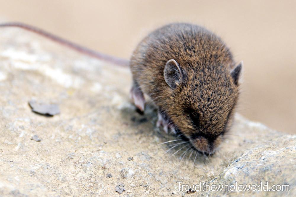 Nepal Khumbu Valley Himalayan Mouse