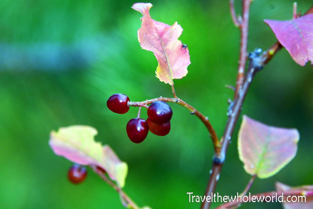 Montana Beartooth Wilderness Berries