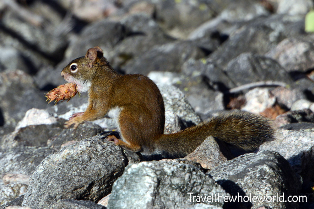 Montana Beartooth Wilderness Squirrel