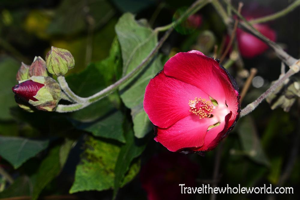 El Salvador Cerro Verde Flower