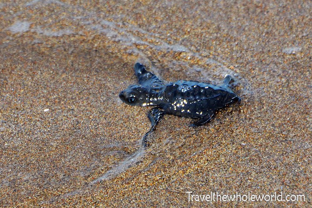El Salvador Baby Olive Ridley Sea Turtle