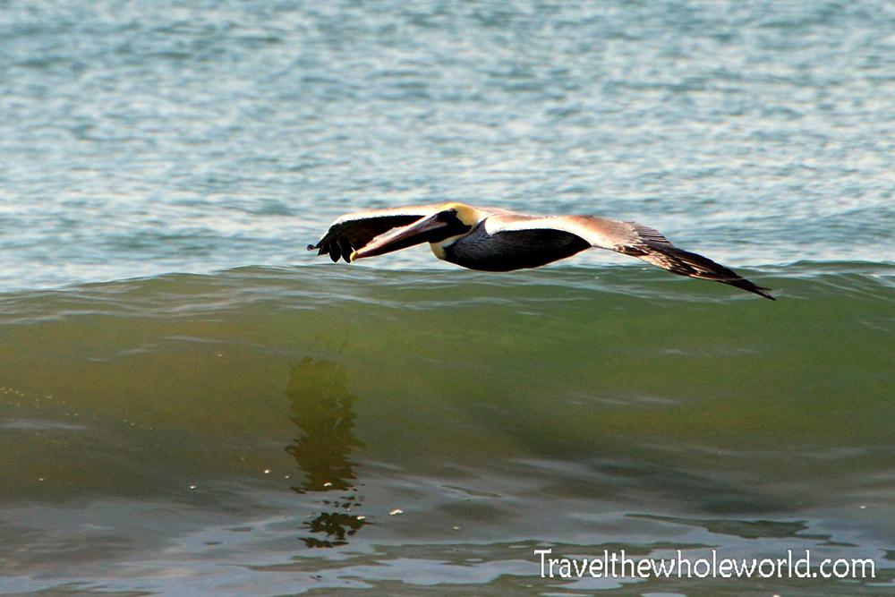 El Salvador Pelican