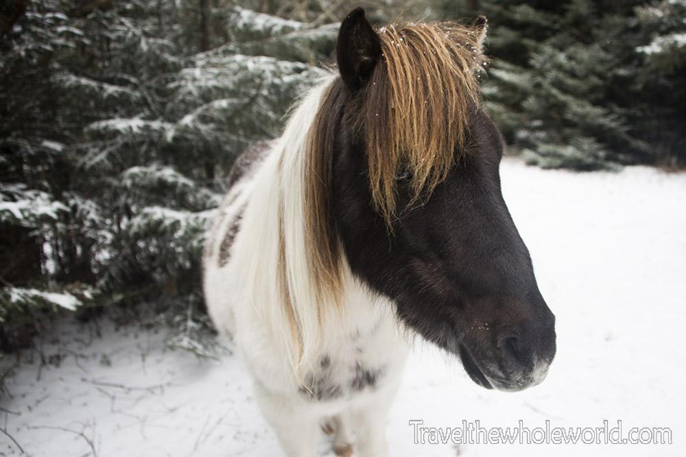 Virginia Wild Pony Black and White Mane