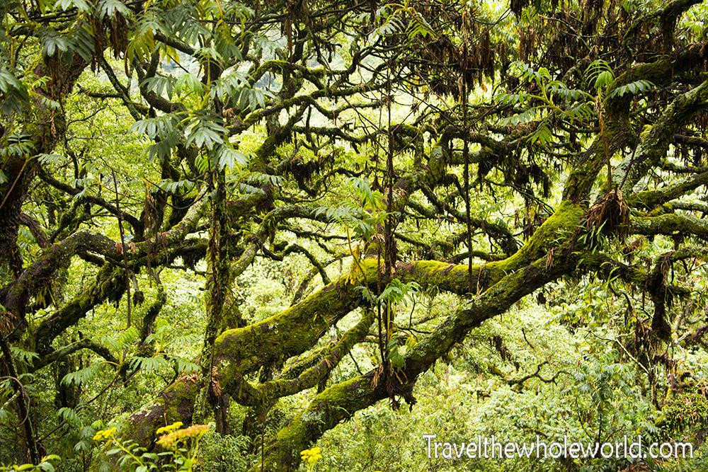 Uganda Rwenzori Tree