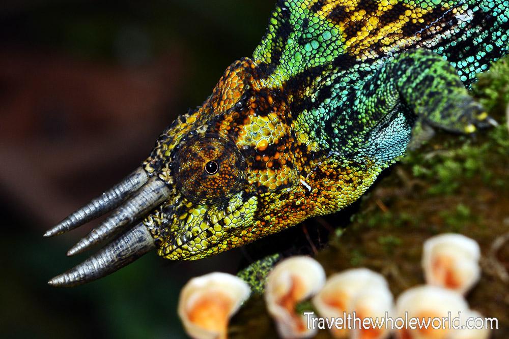 Uganda Rwenzori Chameleon