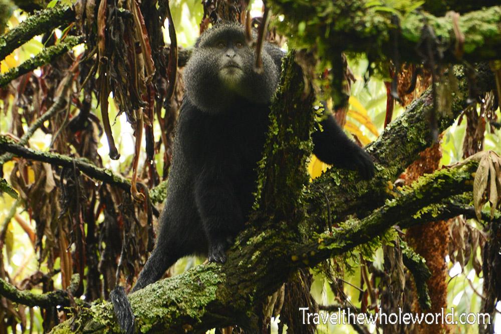 Uganda Rwenzori Golden Monkey