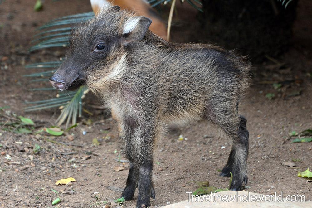Ziwa Warthog