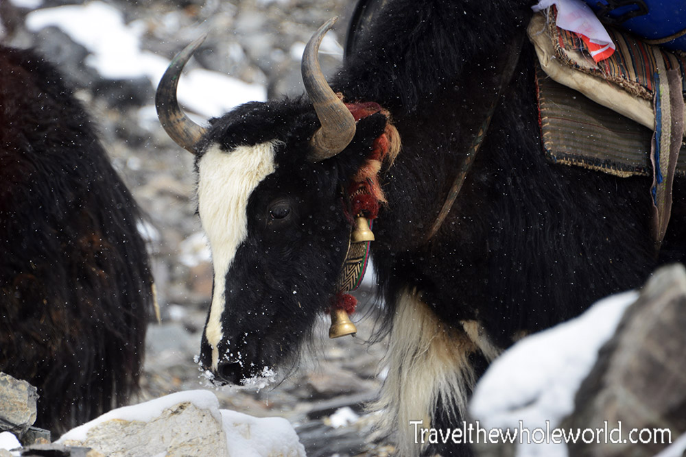 Mt. Everest Tibet Yak
