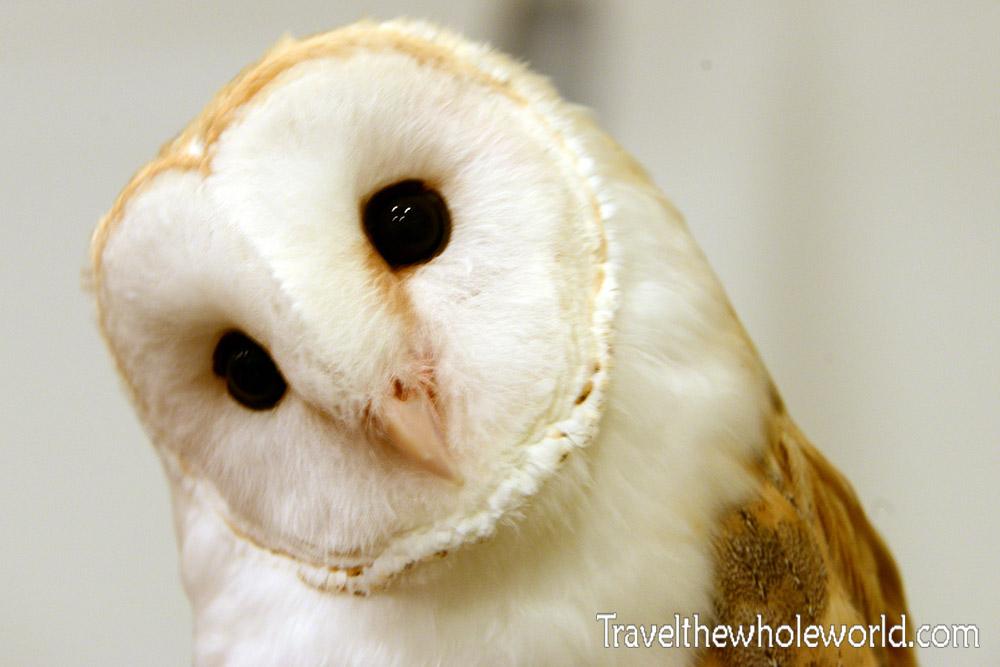 Osaka Barn Owl