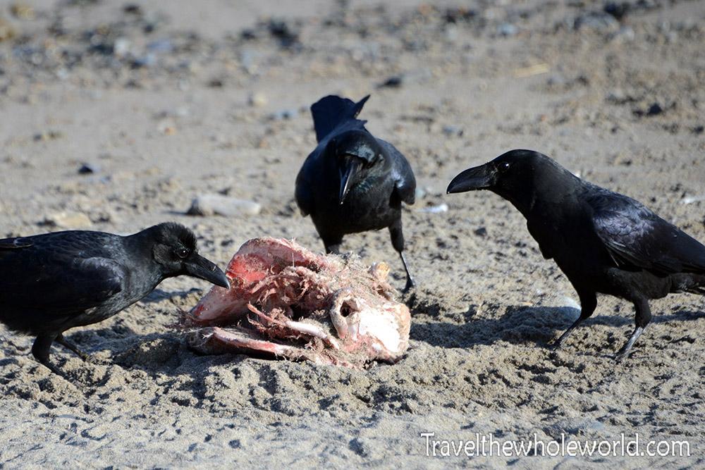 Korean Coast Crows