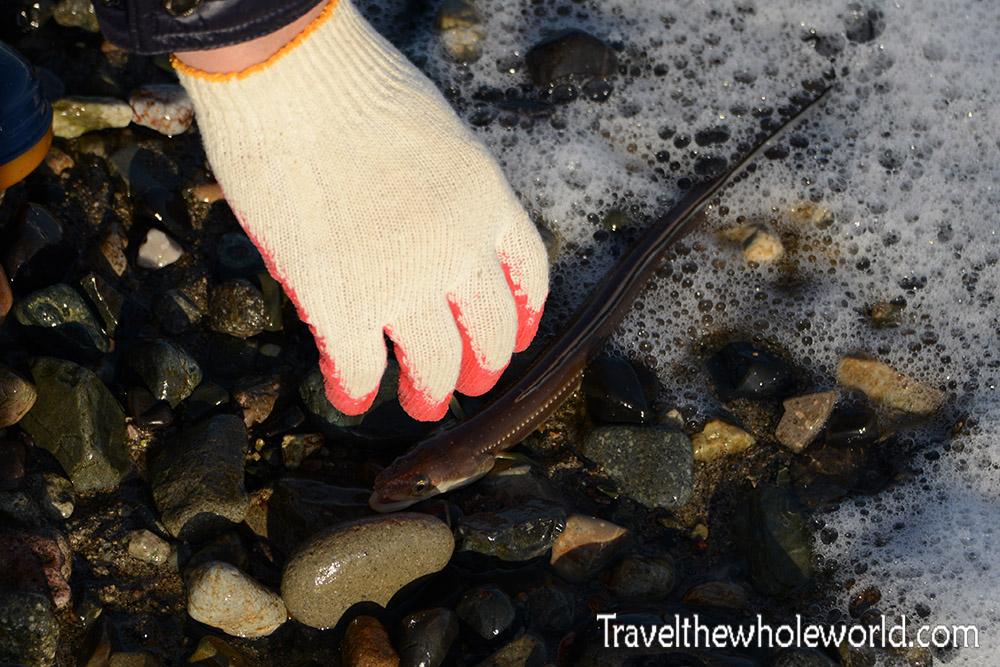South Korea Eel Release