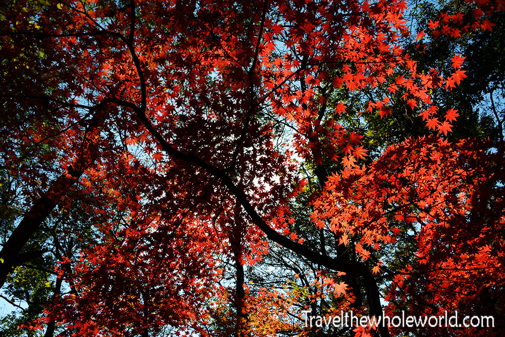Korea Fall Colors Forest Canopy