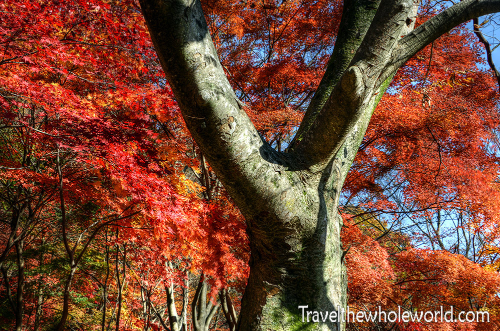 Naejangsan Fall Colors Red Maples