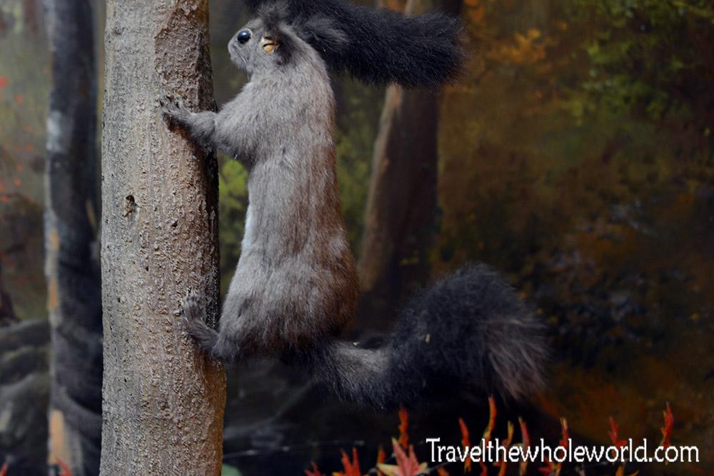 Naejangsan Squirrel