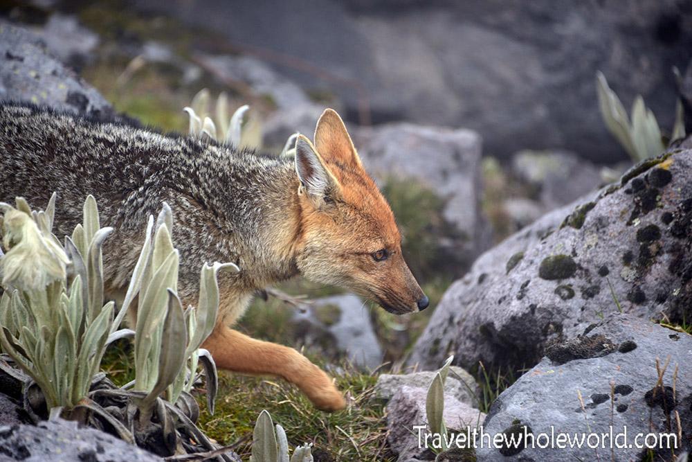 Ecuador Illiniza Park Andean Fox