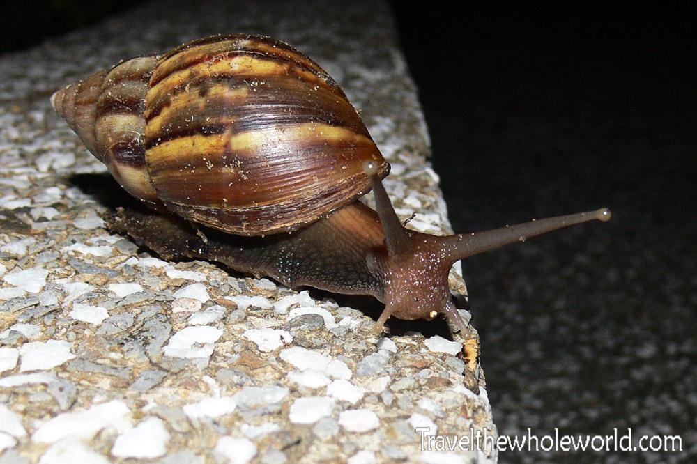 Brunei Snail
