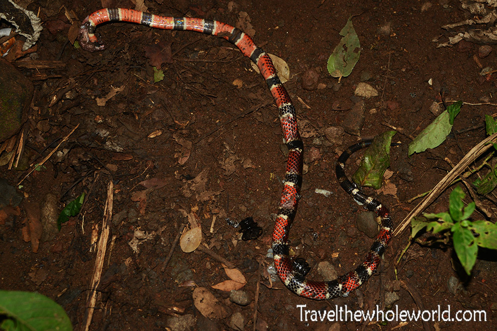 Nicaragua Dead Coral Snake