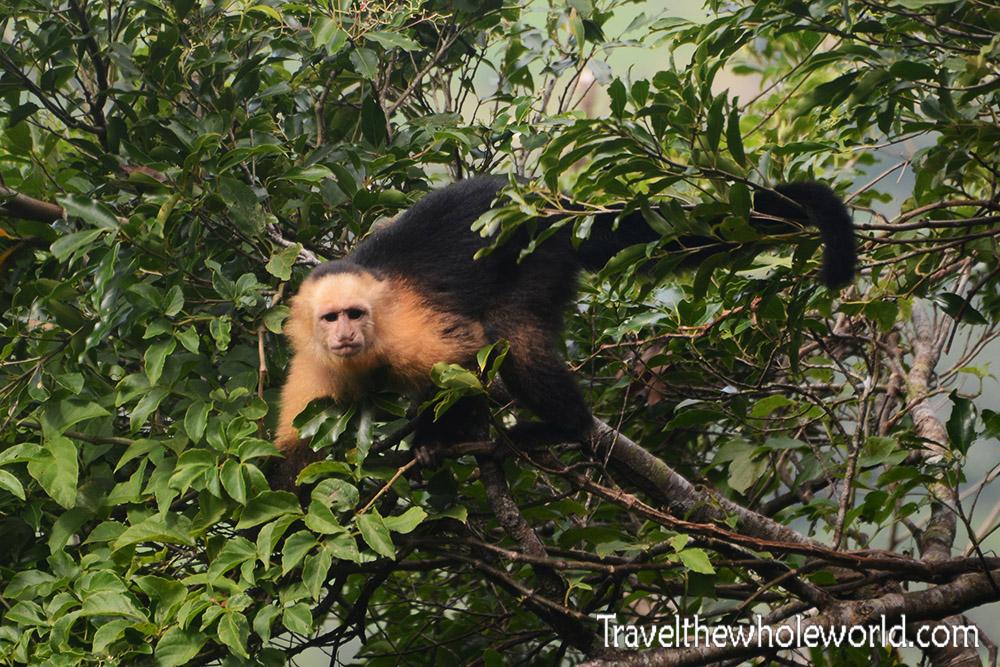 Nicaragua Ometepe Monkey