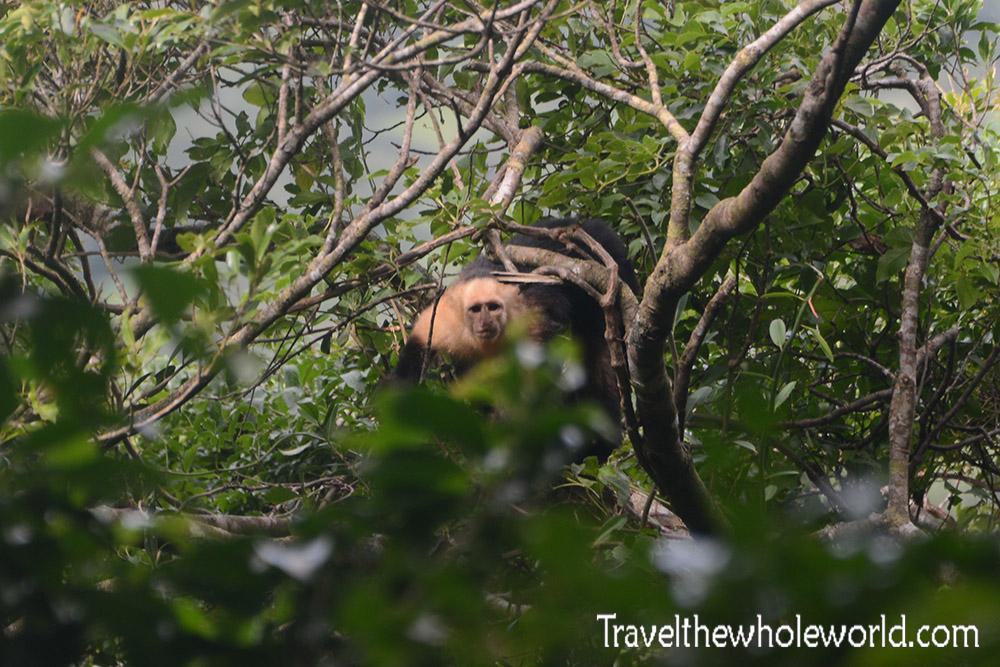 Nicaragua Ometepe Capuchin Monkey