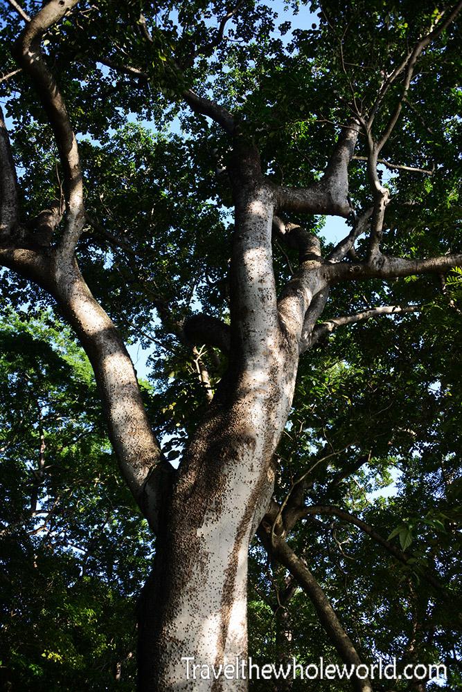 Nicaragua Ometepe Tree