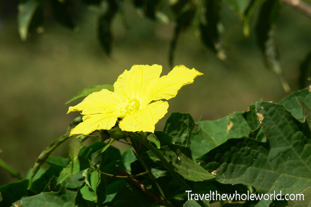 Sudan Dinder Flower Yellow