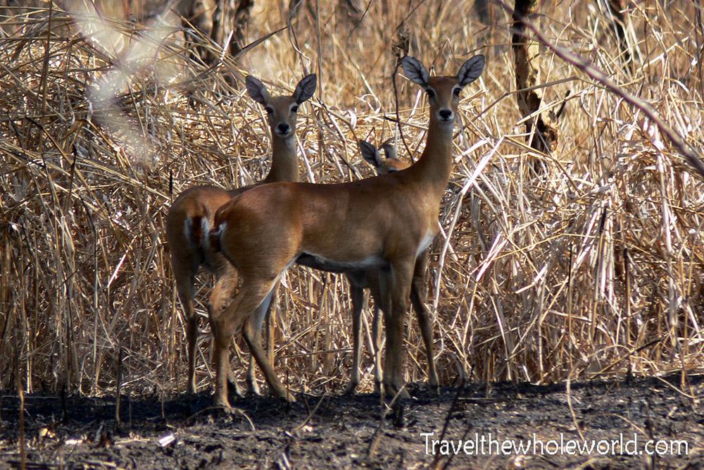 Sudan Dinder Gazelles