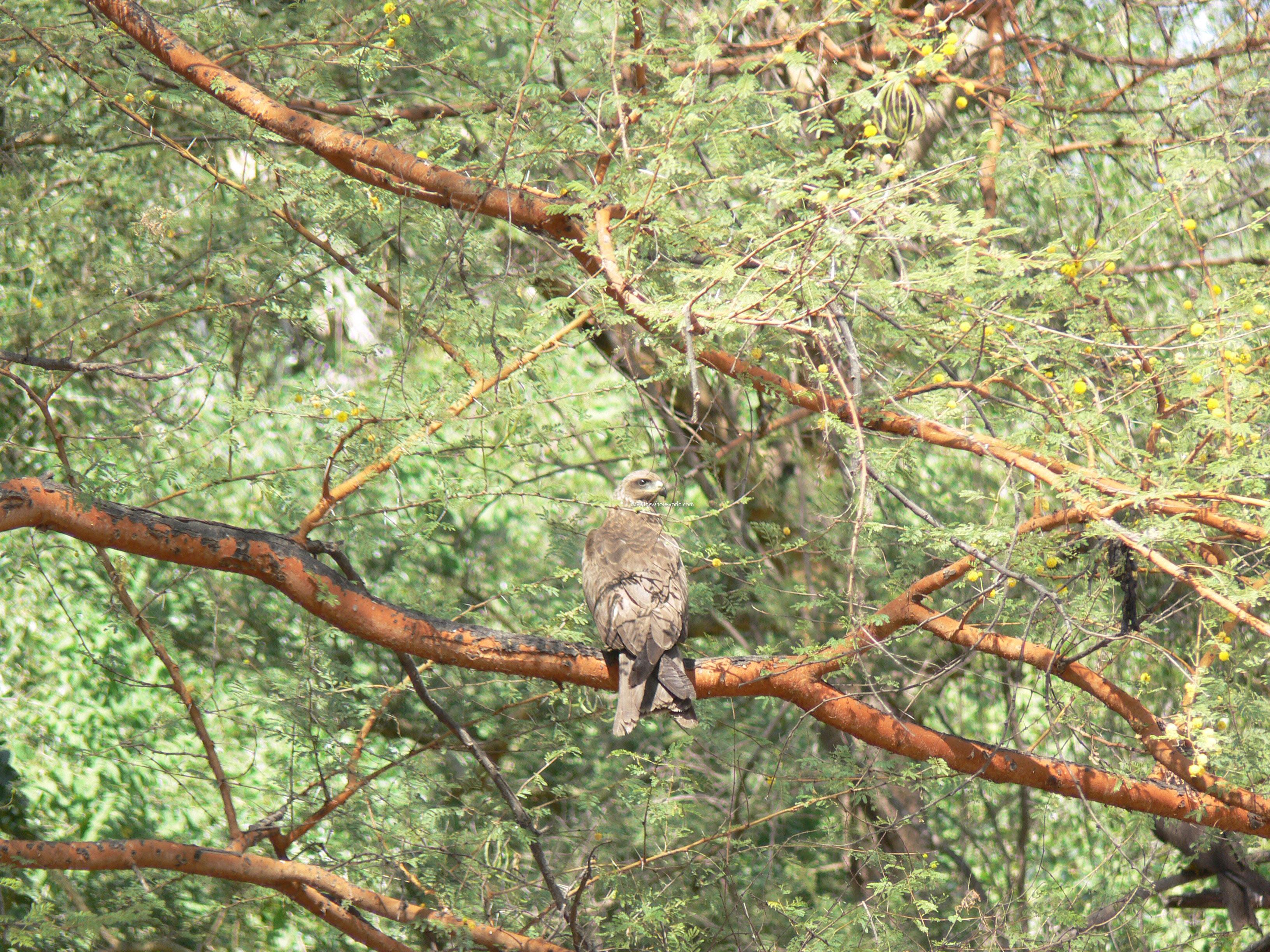 Sudan Dinder Hawk