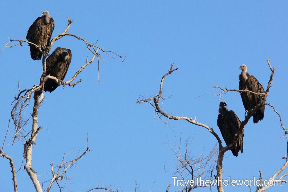 Sudan Dinder Vultures
