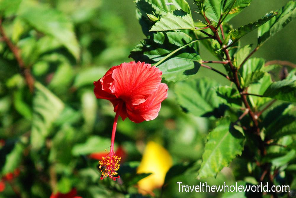 Haitian Flower