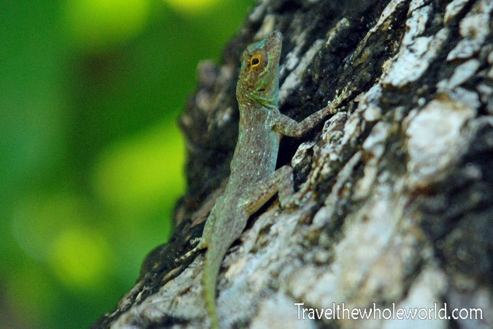 Haiti Lizard
