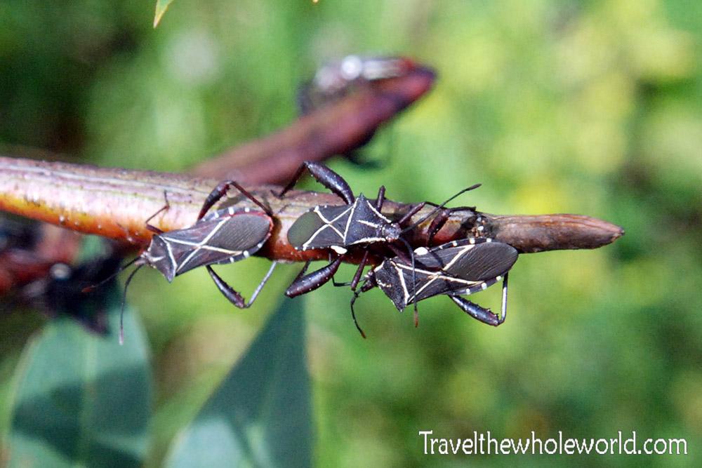 Haiti Stink Bugs