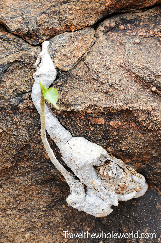 Somalia Rock Plant