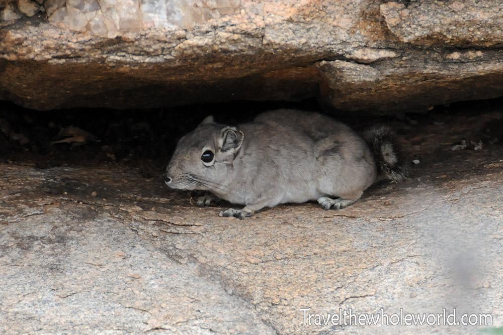 Somalia Desert Rat