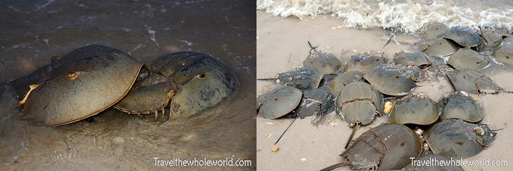 Horseshoe Crab Migration