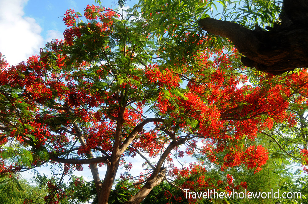 East Timor Red Tree