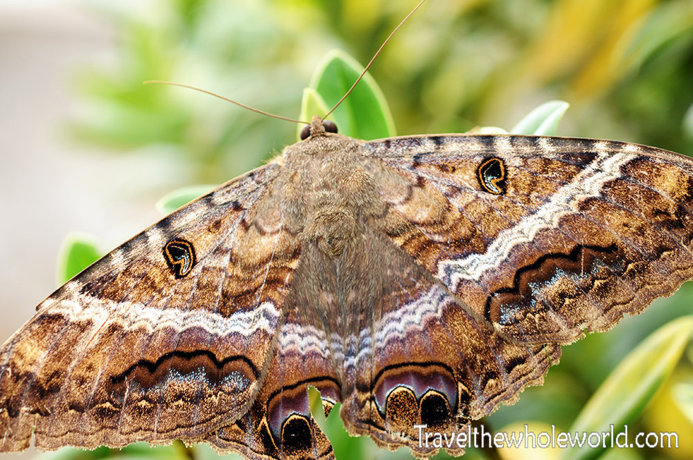 Colombia Giant Moth