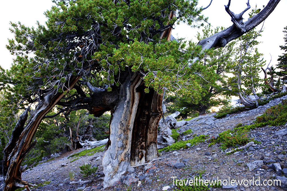 Borah Peak Tree