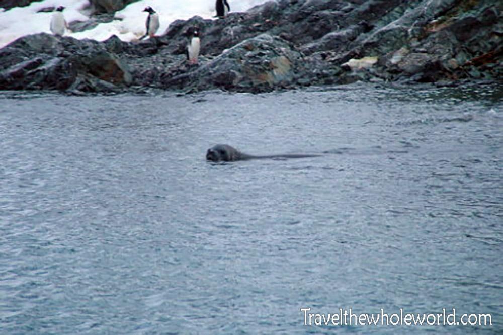 Antarctica Crabeater Seal