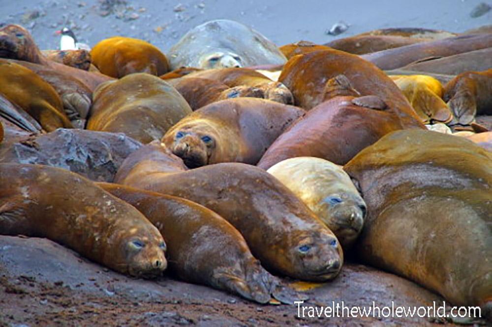 Antarctica Elephant Seal Colony