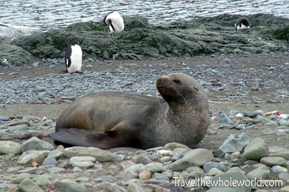 Antarctica Fur Seal