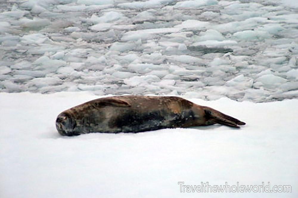 Antarctica Weddell Seal