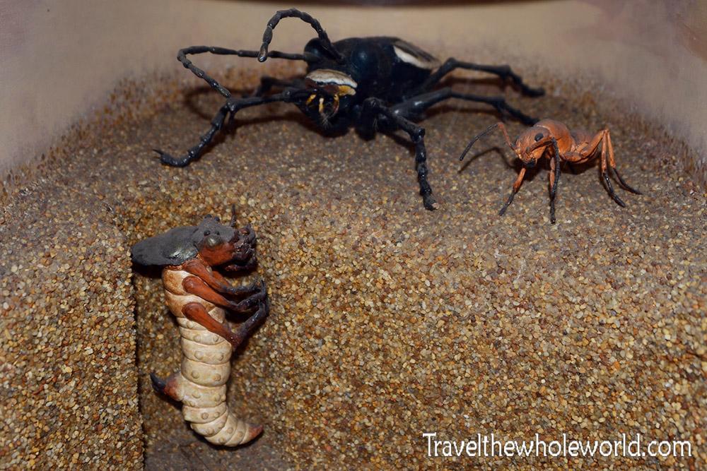 North Carolina Tiger Beetle