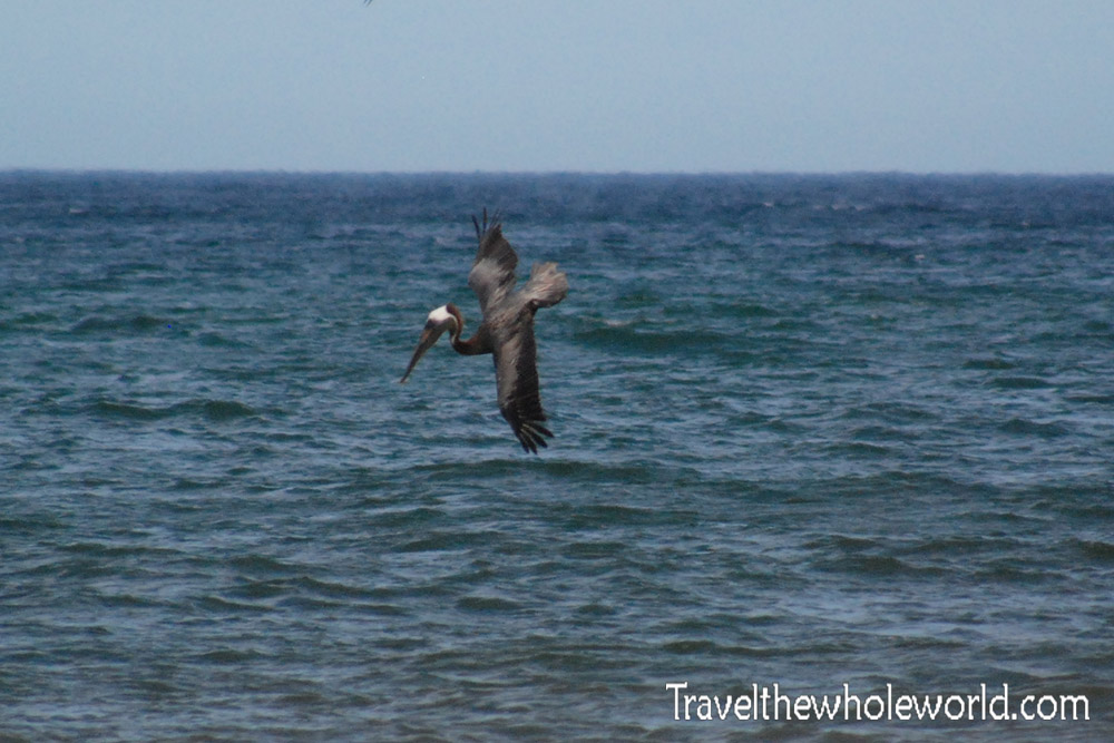 Outer Banks Pelican