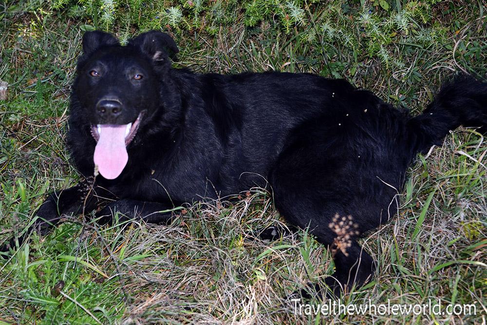 Serbia Dog