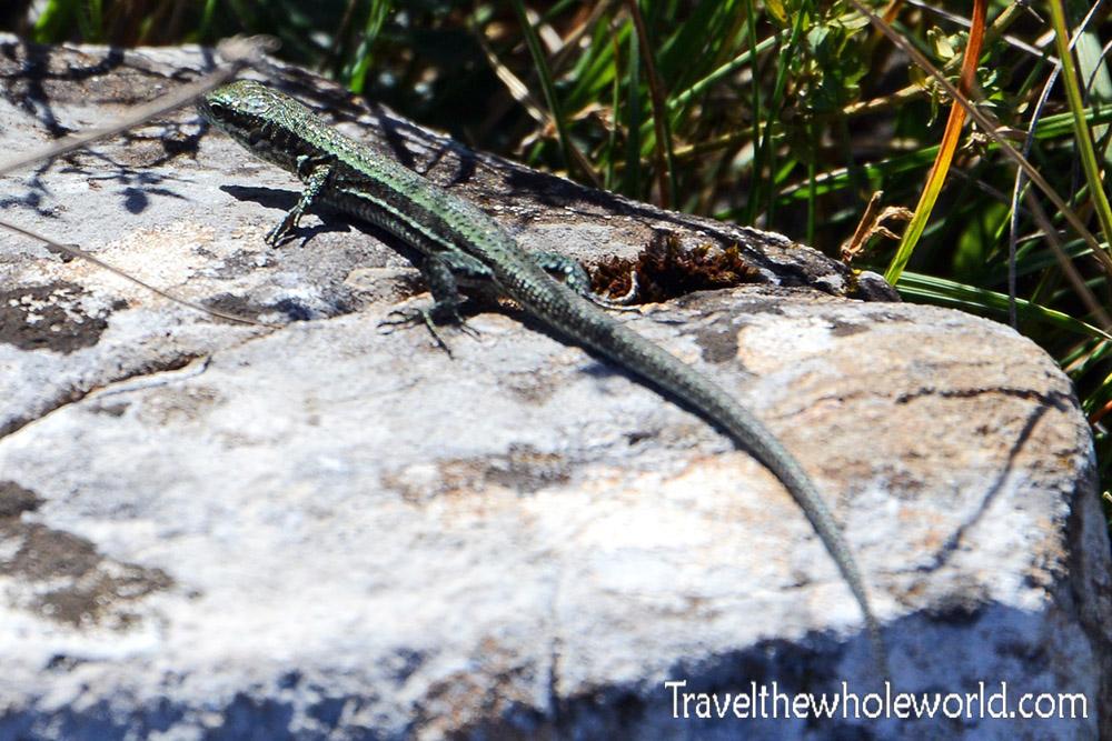 Serbia Lizard