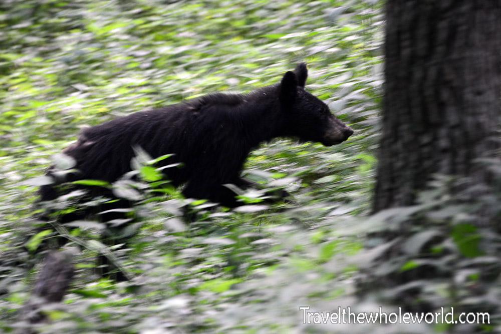 Virginia Shenandoah Black Bear