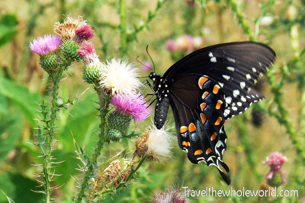 Virginia Pipevine Butterfly