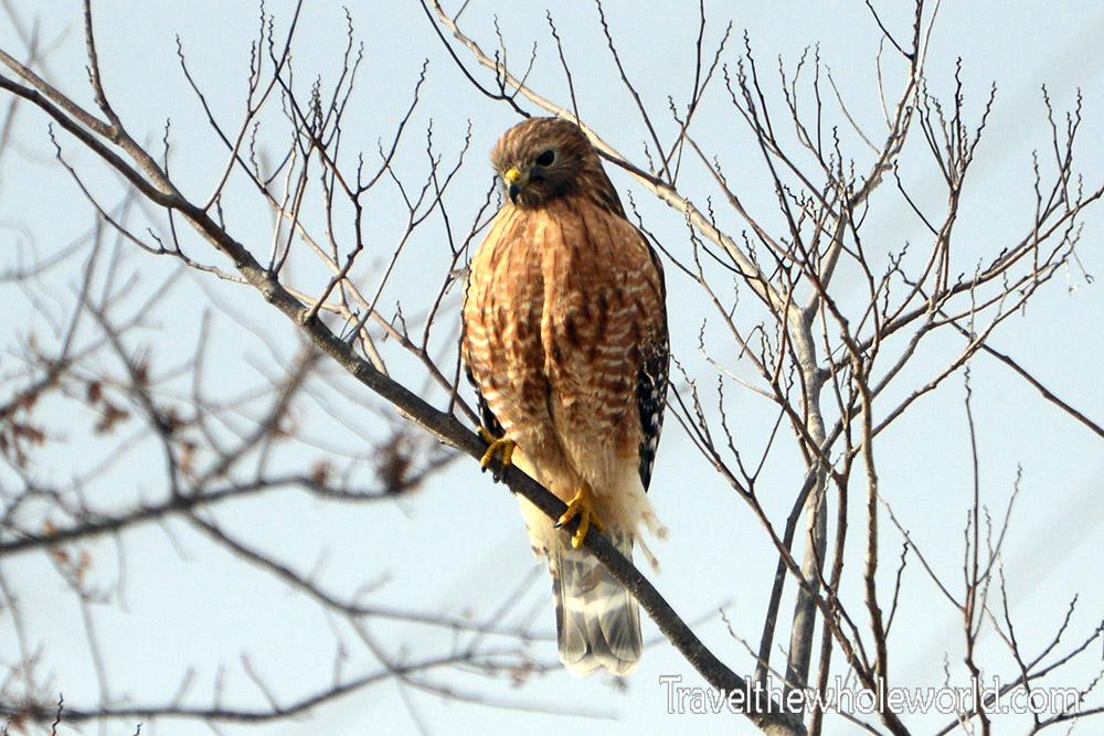 Virginia Red Tailed Hawk
