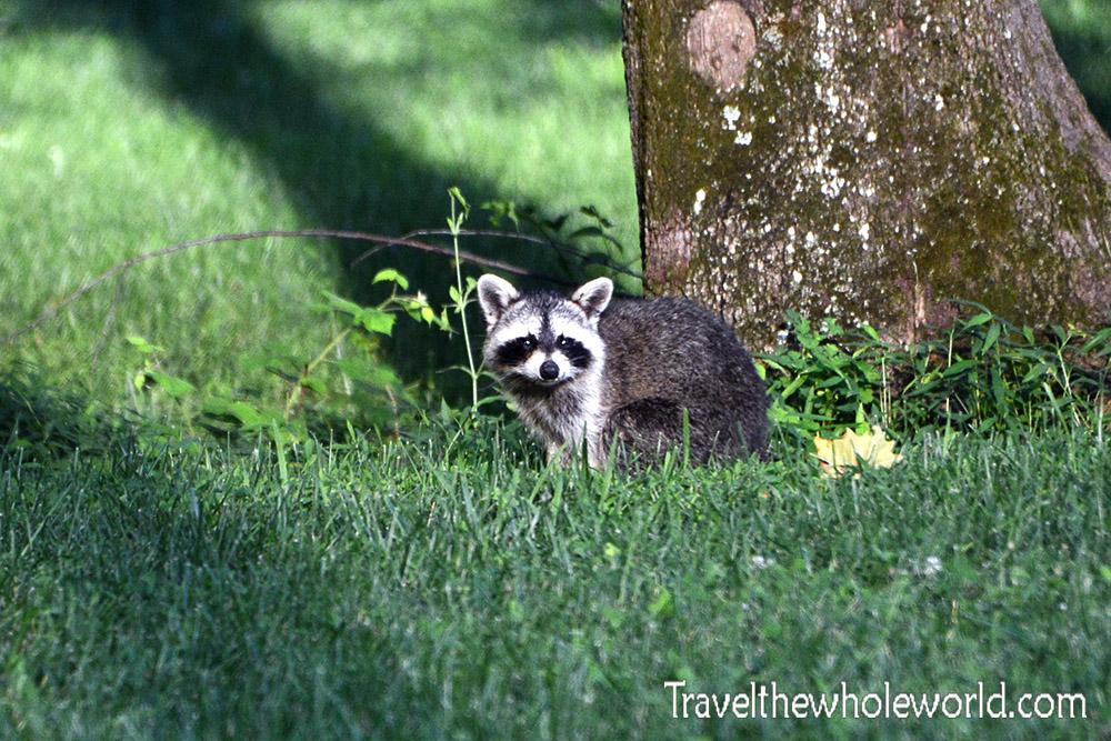 Shenandoah Raccoon