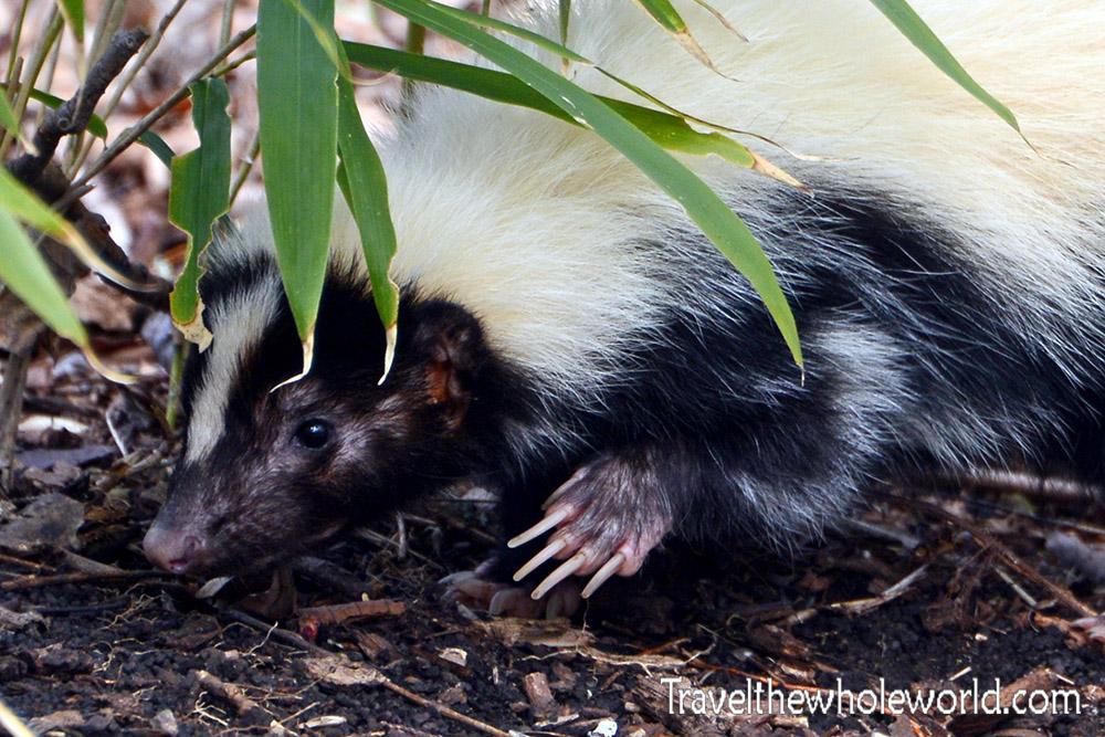Shenanodah Skunk